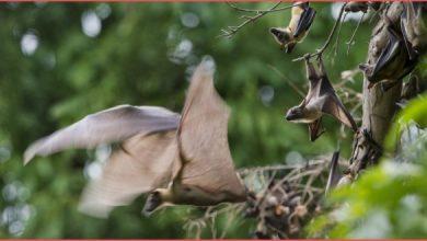 انتشار الخفافيش